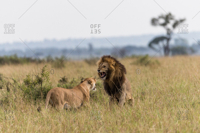 Male and female lion growling at each other