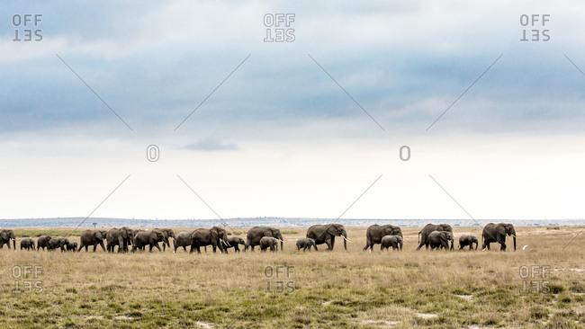 Elephant herd walking across plain, Amboseli, Kenya