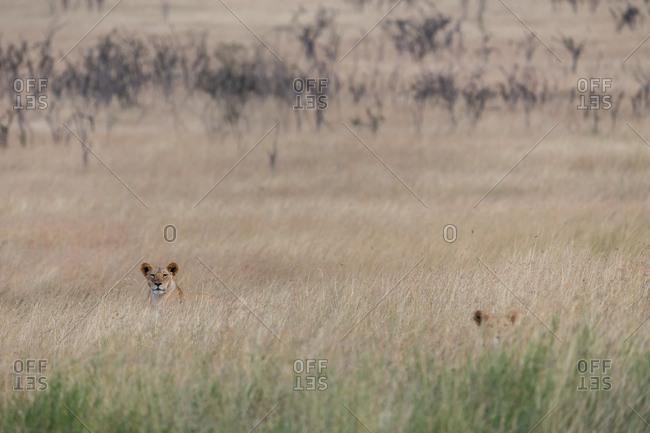 Female lions in high grass, Kenya