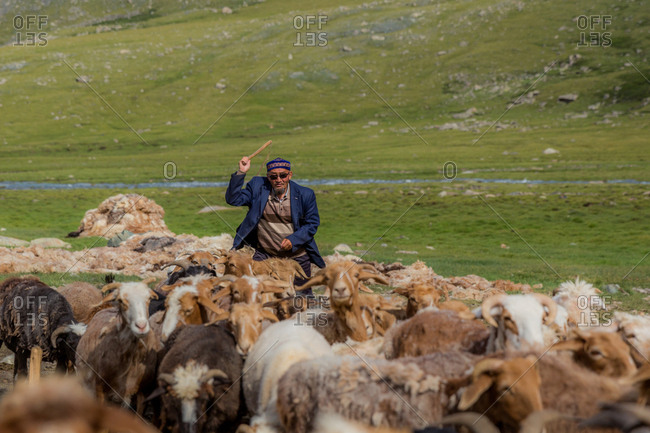 Altai Mountains, Mongolia - July 16, 2016: Old Kazakh man herds goats and sheep
