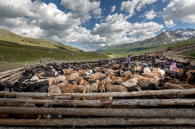 Altai Mountains, Mongolia - July 14, 2016: Kazakh people tending livestock