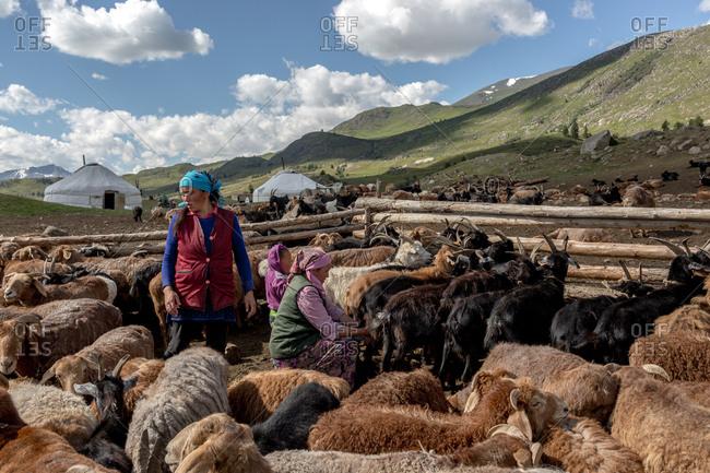 Altai Mountains, Mongolia - July 14, 2016: Kazakh women milking livestock