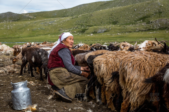 Altai Mountains, Mongolia - July 16, 2016: Old Kazakh woman milking goats and sheep