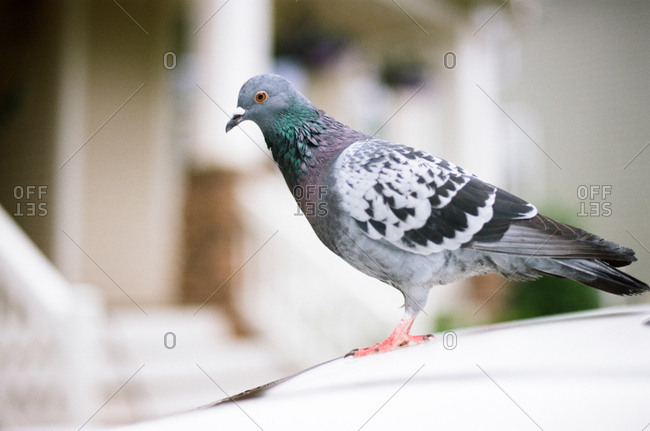 Close-up of a pigeon standing on-top of a car