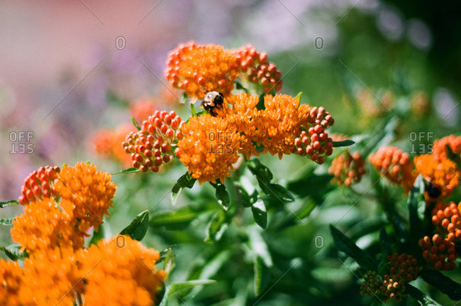 Close-up of a bee among orange flowers
