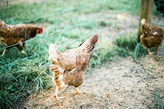 Chickens roaming on a farm
