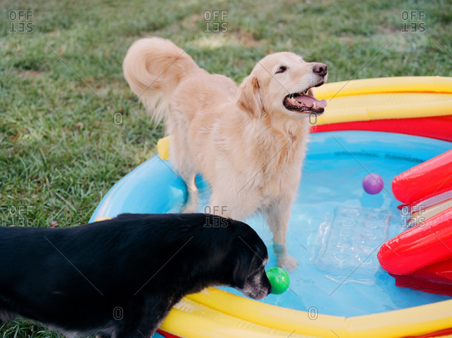 Two dogs playing with balls in an inflatable pool
