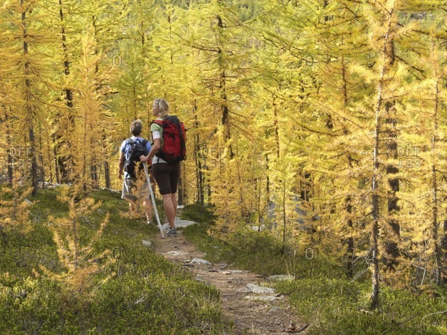 Hiking couple follow trail through autumn alpine larch forest