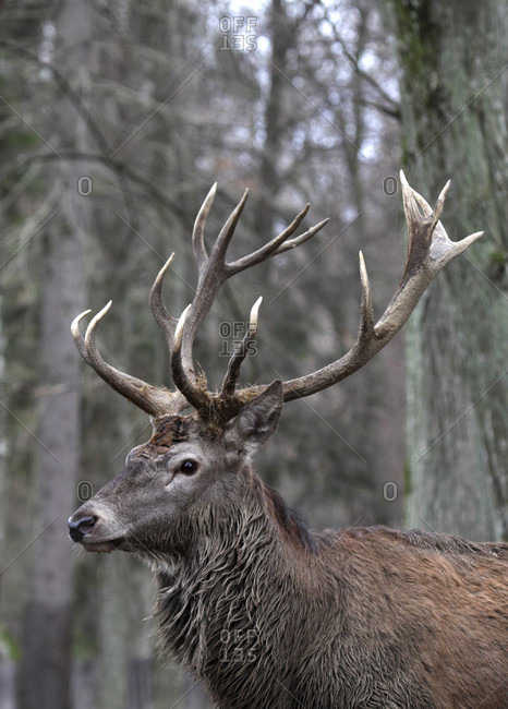 Red deer (Cervus elaphus) in the middle of a forest. Adult with big horns.