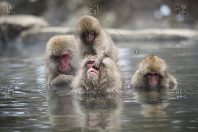 Snow Monkey Child Picks Her Parent's Nose At Park In Nagano, Japan