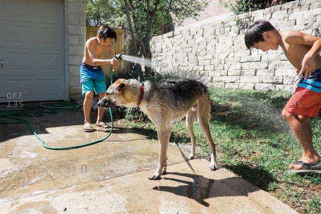Brothers washing dog with hose