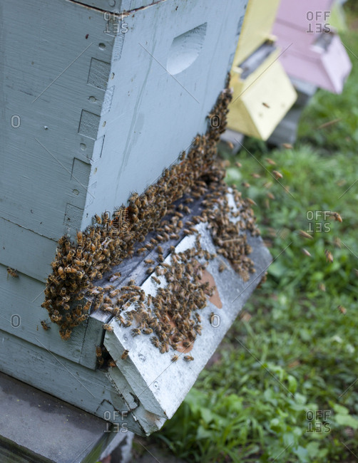 "Bees ""bearding"" outside of their hive in Upper Saddle River, New Jersey"