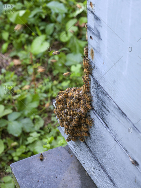 "Close up of bees ""bearding"" outside of their hive in Upper Saddle River, New Jersey"
