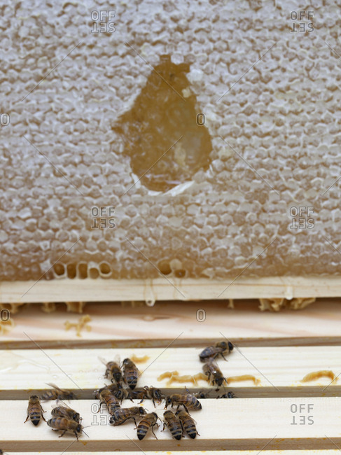 Bee's wax and honey on a slat from a bee hives in Upper Saddle River, New Jersey