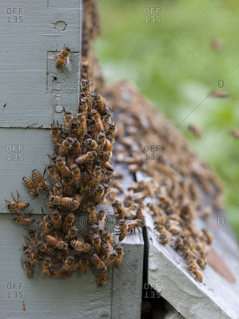 "Swarm of bees ""bearding"" outside of their hive in Upper Saddle River, New Jersey"