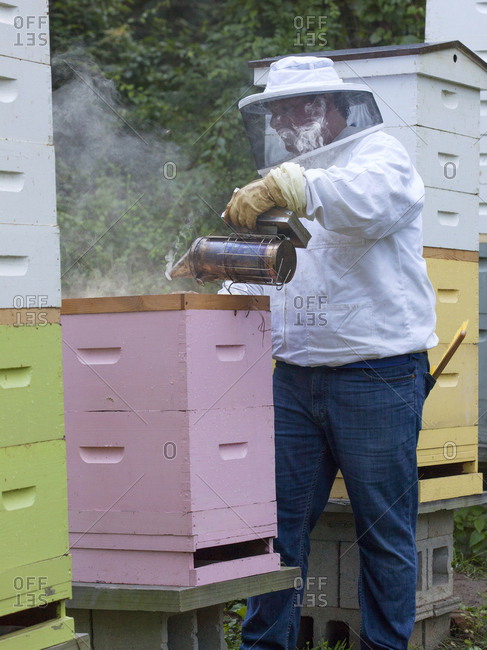 Apiarist smoking bees to get them back into their hive