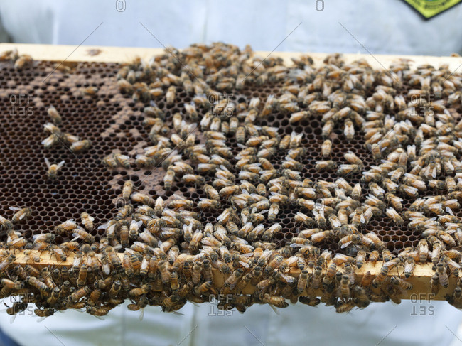 Close up of honey bees on a slat from their hive in Upper Saddle River, New Jersey