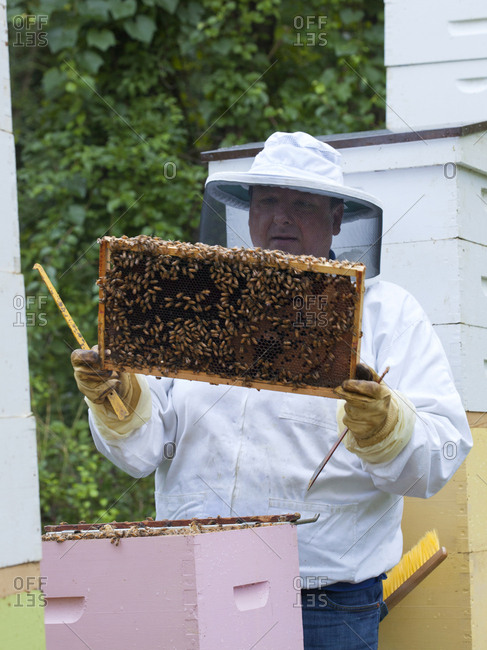 Apiarist examining a slat from a bee hive that will eventually be full of wax and honey