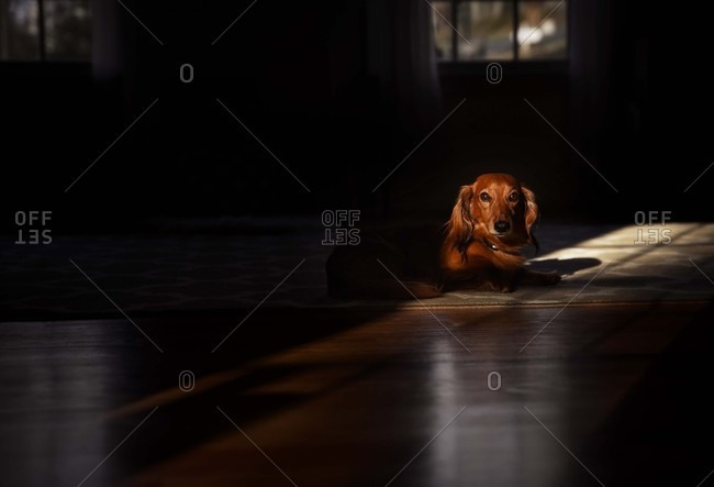 Dog sitting in morning light beam