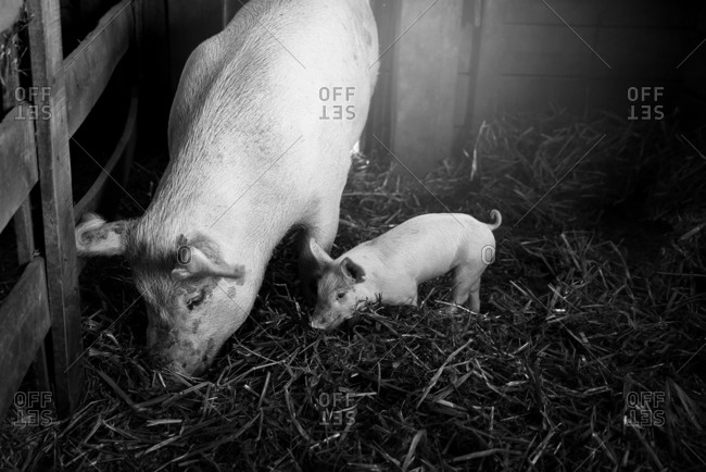 Mother pig with her piglet in a barn