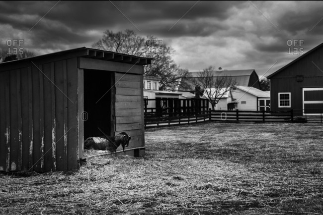 Goat on a farm waiting for a storm
