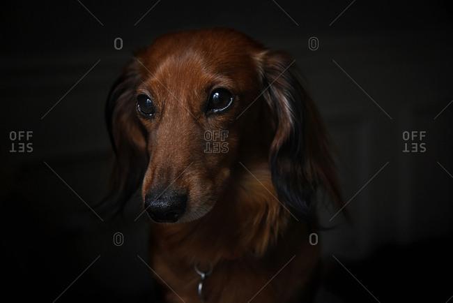 Close up portrait of brown dog