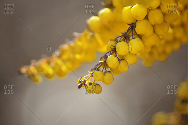 Yellow flower buds up close