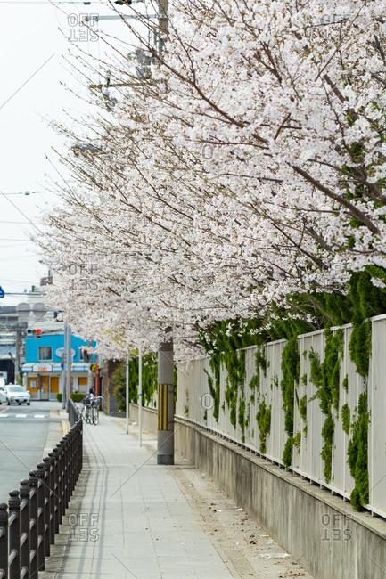 Cherry blossom in spring, Osaka