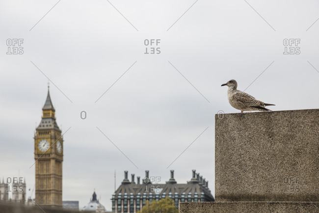 Bird with Big Ben in the background in London