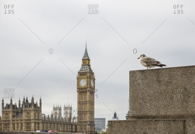 Seagull with Big Ben in the background in London