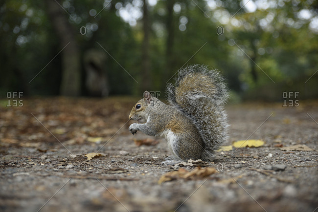 Close up of a squirrel in a park in London