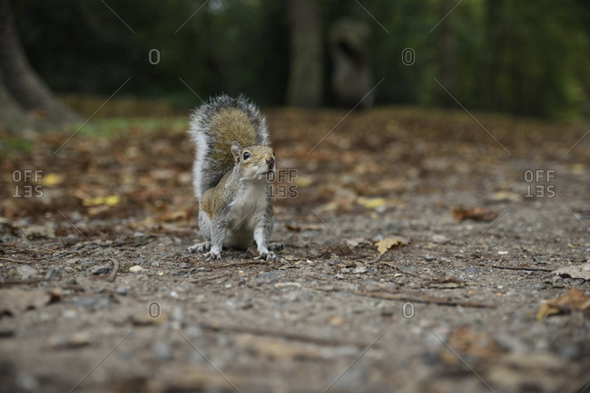 Squirrel in Holland park in London