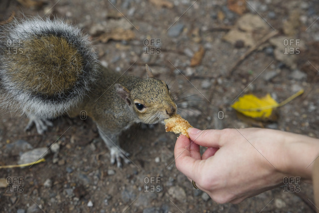 Person feeding a squirrel in Holland park in London