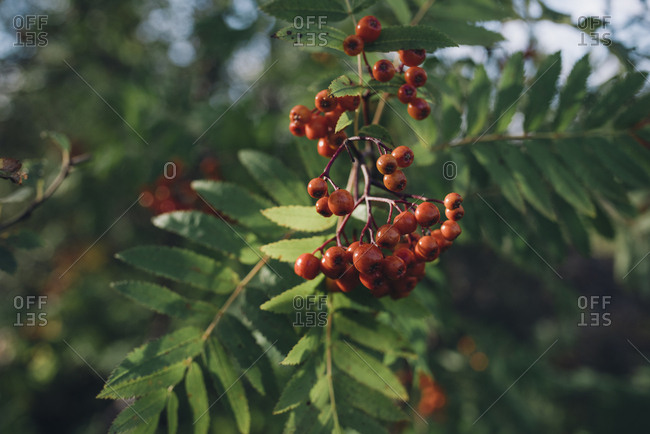Red berries growing on a tree