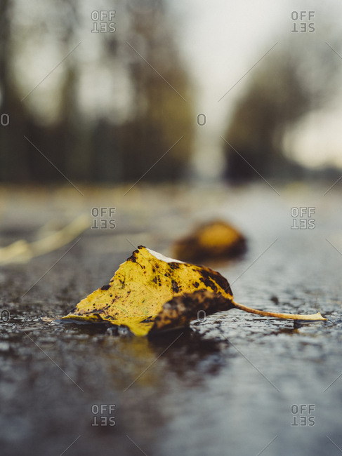 Close up of a yellow fallen leaf on wet ground