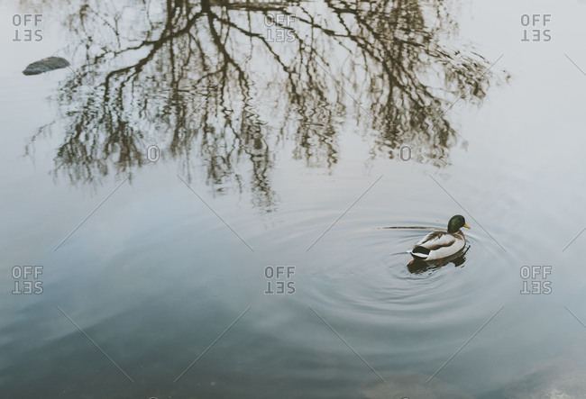 Mallard duck swimming in a lake