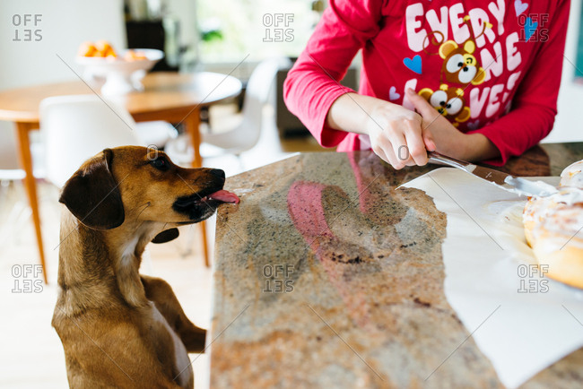 Dog licking counter while girl is icing cinnamon rolls