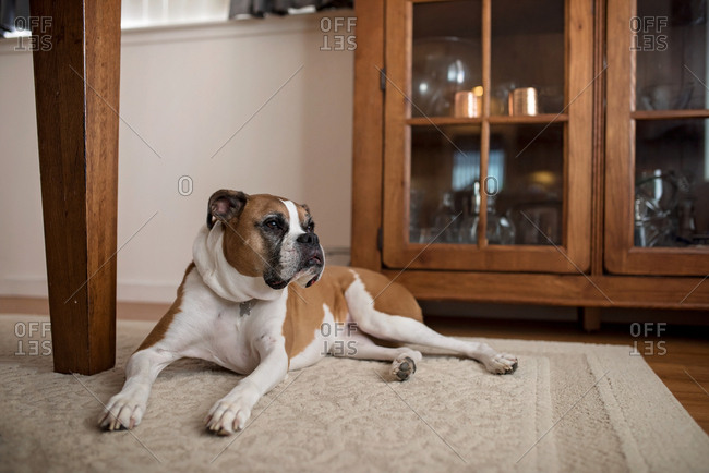 Dog staring off lying on floor