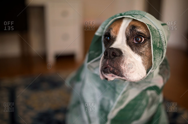 Dog wrapped up in towel