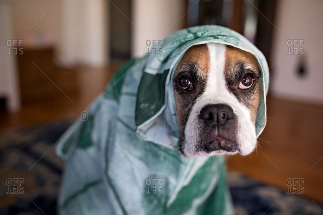 Dog wrapped up in a towel