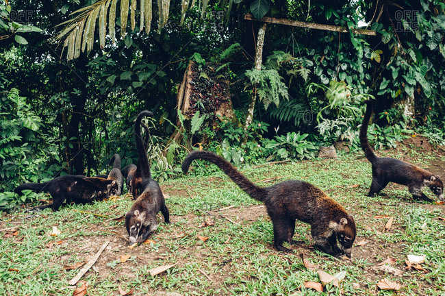 Coati eating