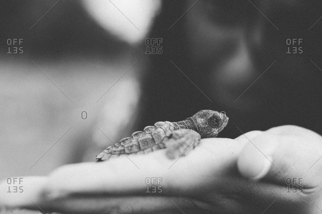 Black and white close-up profile of baby turtle in hand