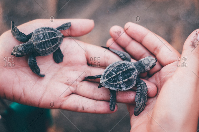 Baby turtles in hand