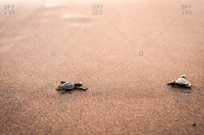 Two baby turtles crawling on sand