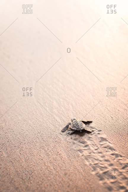 Baby turtle crawling on sand