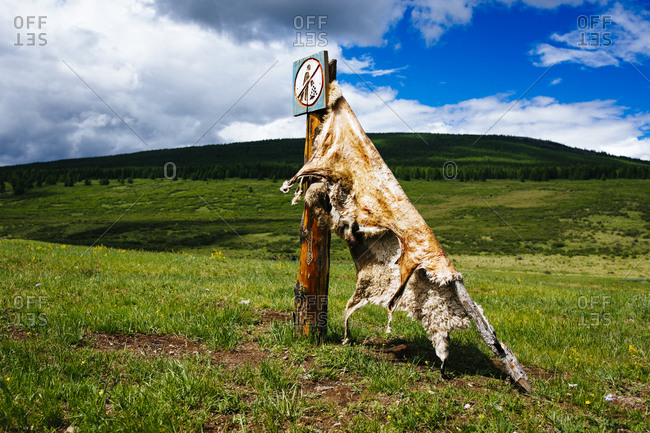 A sheep hide stretches out to cure on a mountainside in northern Mongolia