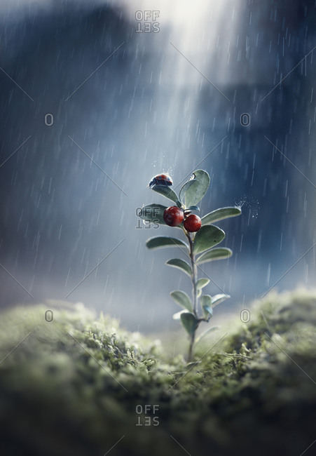 Ladybug on seedling in rain