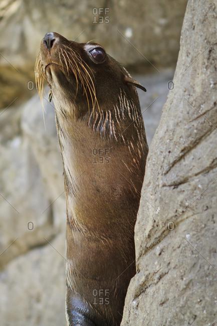 Seal peering from behind rock