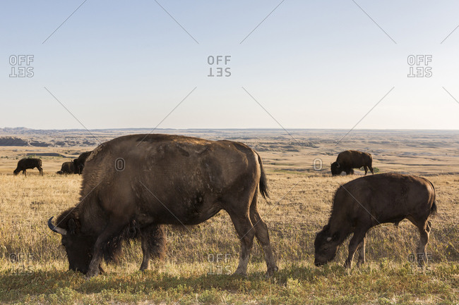 Bison grazing in grassy remote field, Badlands National Park, South Dakota, United States