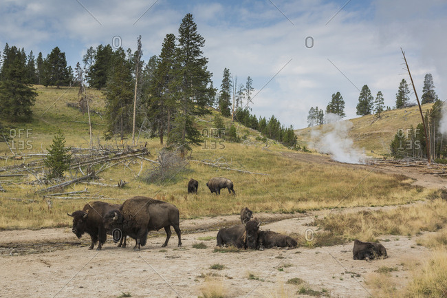 Bison in field near geyser, Yellowstone National Park, Wyoming, United States